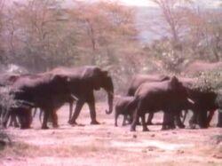 1952-Elephants