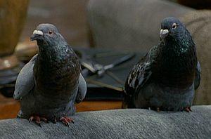 File:Pigeons-drdolittle.jpg