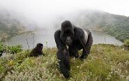 Silverback-gorillas-in-the-mist-800x500
