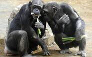 Chimp food 1380265c2-400x250