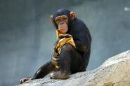 Lightmatter chimp
