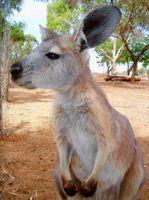 File:Australian-animals-kangaroo.jpg