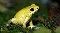 220px-Golden Poison dart frog Phyllobates terribilis.jpg