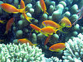 220px-Anthia goldfish.jpg