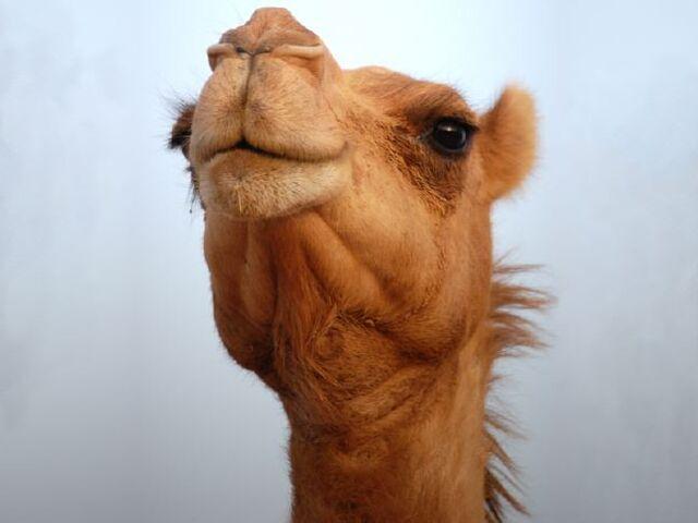 File:Camel-Face.jpg