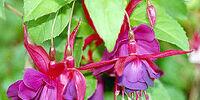 Fuchsia (color)