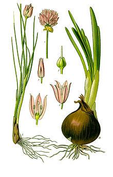 File:220px-Illustration Allium schoenoprasum0 clean.jpg