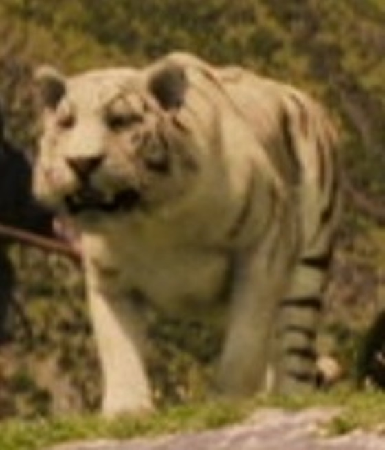 File:A white tiger.jpg