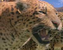 Narnialeopard