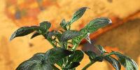 Solanum tuberosum Lovianum
