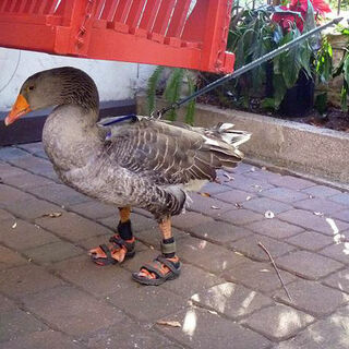 Here's a duck in sandals