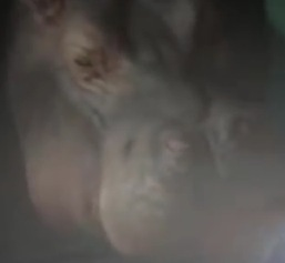 File:Hippo.jpeg