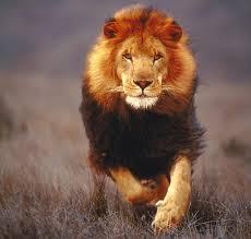 File:Run lion.jpg