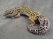 KBLeopardGecko