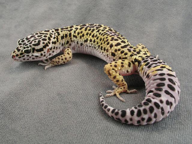 File:KBLeopardGecko.jpg