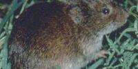 Meadow Vole