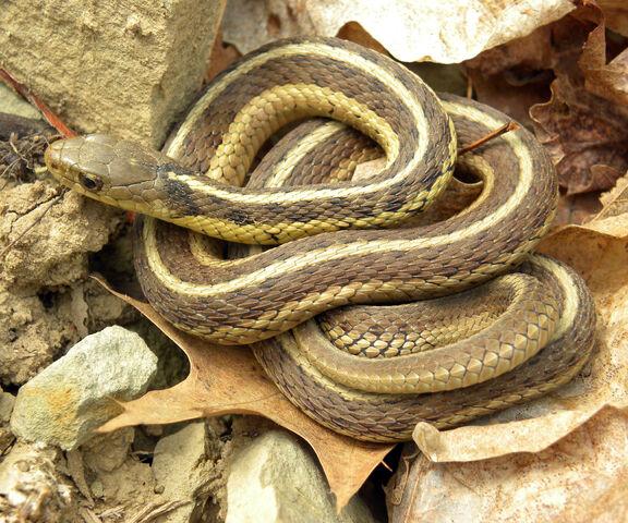 File:Common Garter Snake.jpg