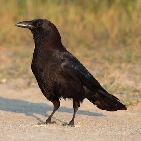 File:American crow.jpg