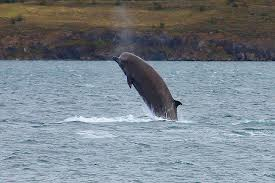 File:Northern Bottlenose Whale.jpg