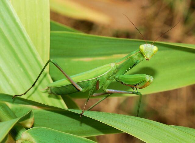 File:European Mantis.jpg