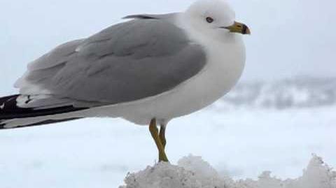 Ring-billed Gull Calling
