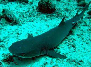 Borneo Shark