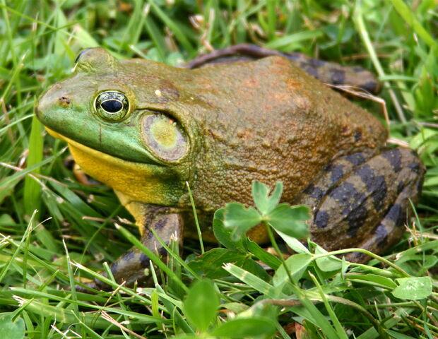 File:North-American-bullfrog1.jpg
