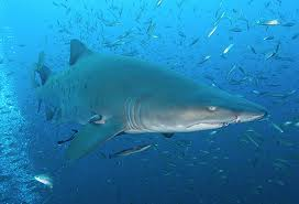File:Sand Tiger Shark.jpg