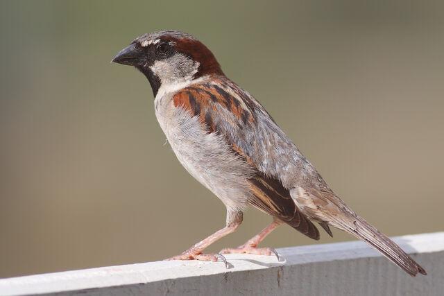 File:House Sparrow mar08.jpg