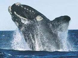 File:North Pacific Right Whale.jpg