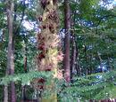 Rotbuche (Fagus sylvatica) 27. August 2009