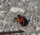Gemeine Feuerwanze (Pyrrhocoris apterus) 28. April 2010