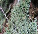 Rotfrüchtige Säulenflechte (Cladonia macilenta) 12. September 2010