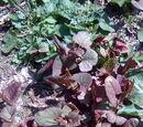 Pflanze mit rötlichen Blättern 23. April 2010 - Welche Art?