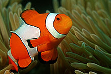 File:Clown fish in the Andaman Coral Reef.jpg