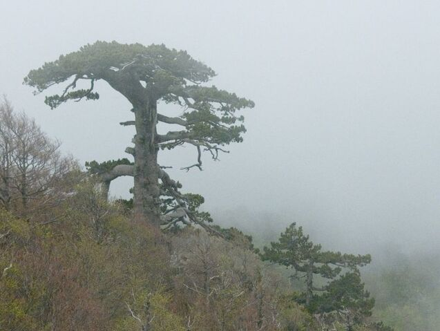 File:- 900yr old tree is a 'Loricato' or 'Bosnian Pine' (Pinus leucodermis) located in the Pollino National Park in Italy (490201719 80d8e0eb32 o).jpg