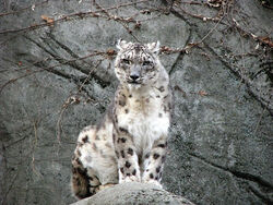 Snow leopard stock 17 by hotnstock-d4rmgof