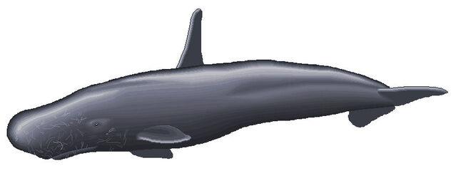 File:High finned sperm whale 2.jpg