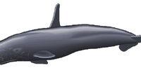 High-Finned Sperm Whale
