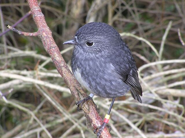 File:799px-NZ North Island Robin-3.jpg