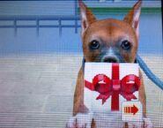 Boxer present