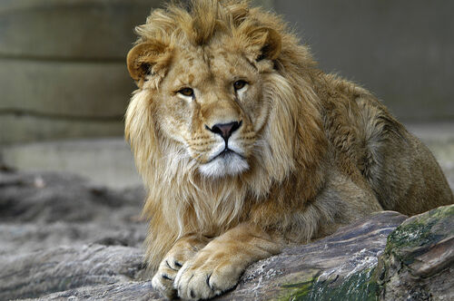 Lion zoo antwerp 1280
