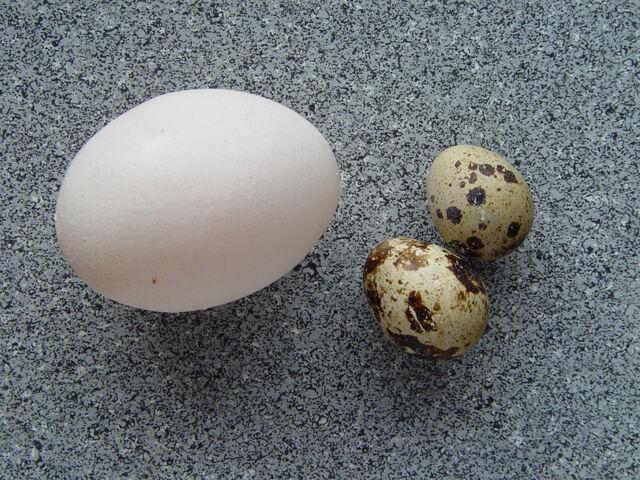 File:Coturnix coturnix eggs.jpg