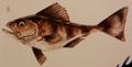 Morsel Fish (Ofella perpavulus)
