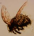 Hairy Maggotfly
