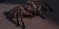 Spider (Arachnophobia)