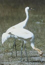 Whooping Cranes USFWS