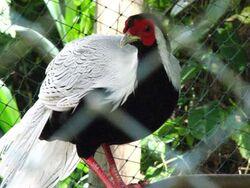 Male Silver Pheasant