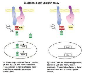 Split ubiquitin(low).jpg