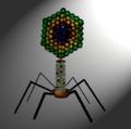 Bacteriophage diagram.png